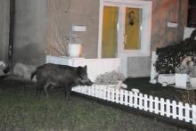 Nocna gonitwa za dzikiem w Opolu