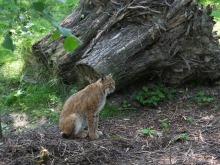 Koty z opolskiego zoo mają nowy wybieg