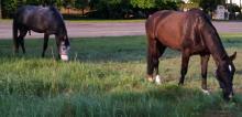 Dwa konie przybłąkały się w nocy do stajni w Niwkach