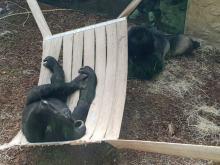 Dwa goryle dołączyły do opolskiego zoo