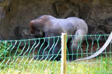 Goryle w opolskim zoo można oglądać już na wybiegu