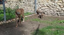 4 małe gepardy wyszły na wybieg w opolskim zoo