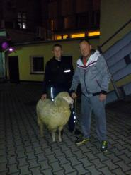 Owca błąkała się po ulicy Reymonta w Opolu. Niecodzienna interwencja policjantów