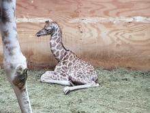 Mała żyrafa, która urodziła się w ZOO jest w świetnej kondycji