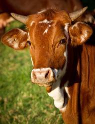 Ponad 170 krów zostanie zabitych za ministerialne pieniądze