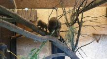W opolskim zoo urodził się lemur