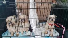 8 psów w typie york i shih tzu odebranych w karygodnym stanie