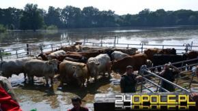 Padła krowa, którą udało się dziś złapać w okolicy jeziora Nyskiego