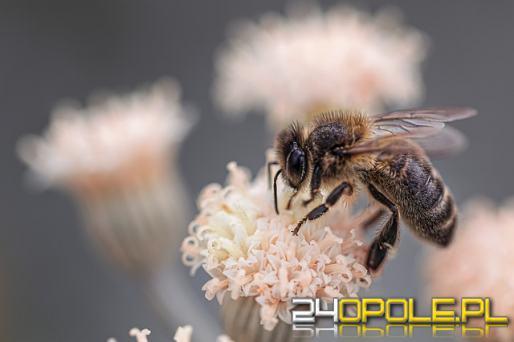 Dziś obchodzimy Wielki Dzień Pszczół - zebraliśmy kilka ciekawostek
