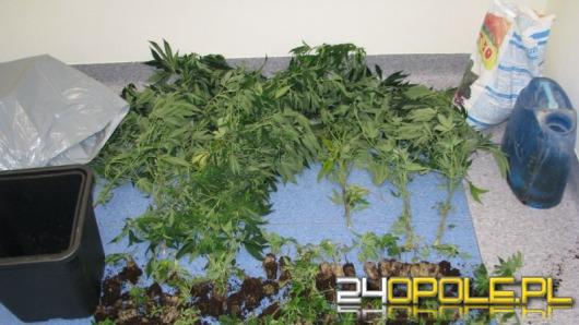 Zlikwidowano plantację marihuany