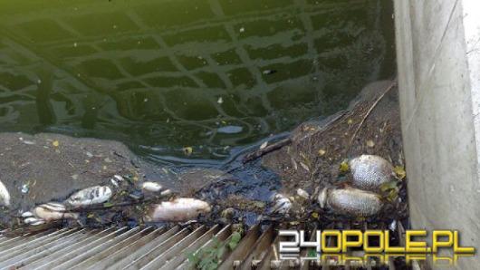 Setki śniętych ryb w Nysie Kłodzkiej