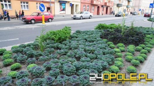 W centrum Opola wyrosła kapusta