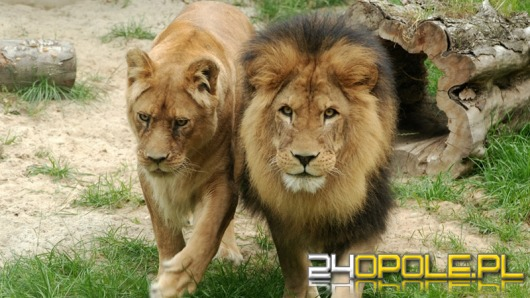 Jest szansa, że lwy wrócą do opolskiego ZOO