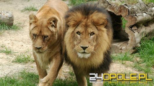 Lwy i tygrysy do ZOO w Opolu zawitają nieprędko