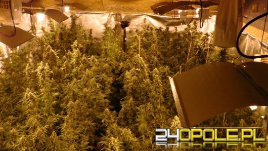 Policjanci z CBŚ zlikwidowali plantację konopi w gminie Pokój