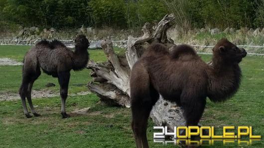 W opolskim zoo przyszła na świat wielbłądzica