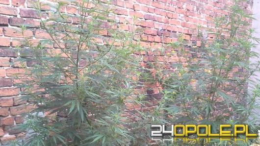Nielegalna plantacja konopii w Wołczynie zlikwidowana