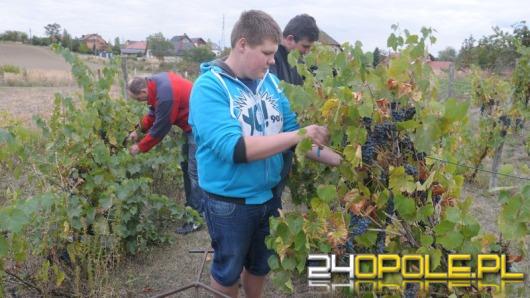 W podopolskim Winowie trwa winobranie