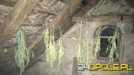 22-latek suszył konopie indyjskie na strychu