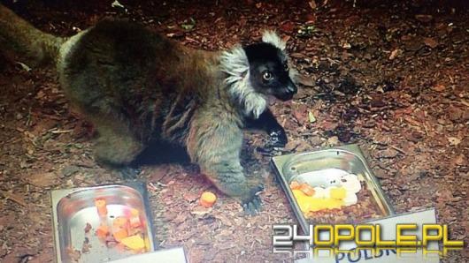 Lemur z zoo w Opolu wytypował wynik meczu Polska-Ukraina