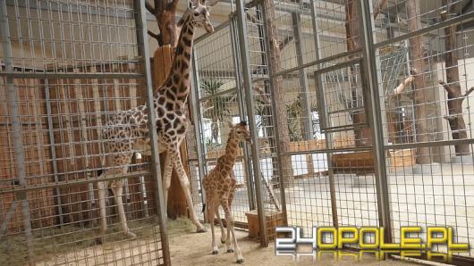 Żyrafa przyszła na świat w opolskim ZOO