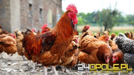 Zikwidowano drugie ognisko grypy ptaków na Opolszczyźnie
