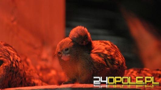 W Opolu przyszły na świat najmniejsze małpy świata