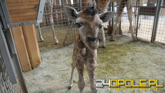 Nowa żyrafa przyszła na świat w opolskim ZOO