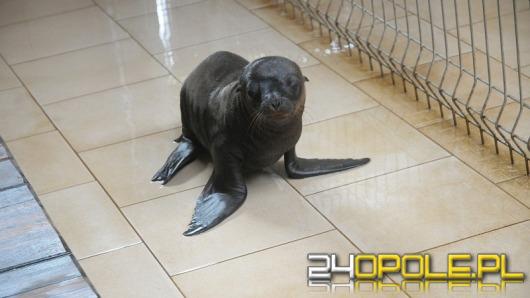Imię dla małej uchatki z opolskiego zoo poszukiwane!