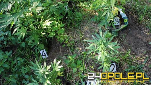 Marihuana na 1,5 metra. Zatrzymany mieszkaniec powiatu kluczborskiego
