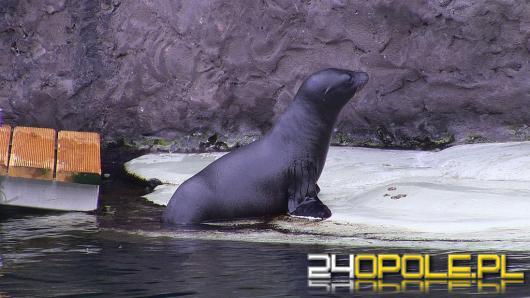 Mała uchatka z opolskiego zoo już pływa w dużym basenie