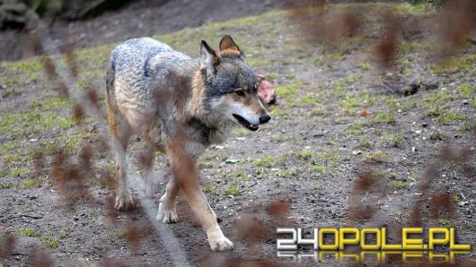 W opolskich lasach przybywa wilków! Czy są groźne?
