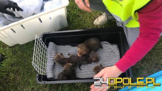 Młode liski utknęły w rowie melioracyjnym. Nocna akcja TOZ i strażaków