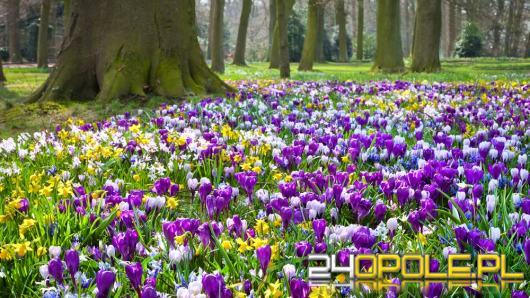 Jak sprawić aby wiosną krokusy mogły zakwitnąć w Twoim ogrodzie