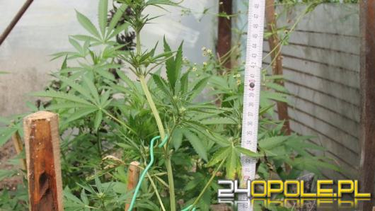 Ćwierć kilograma narkotyków w piwnicy, uprawa konopi w ogródku