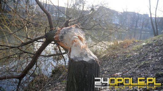 Kolejne drzewa ścięte nad Młynówką. Bobry zadomowiły się na stałe?