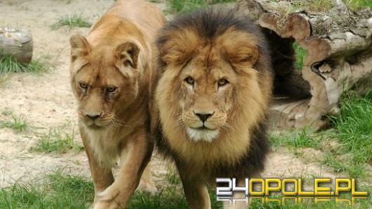 Do opolskiego Zoo wrócą lwy? O pieniądzach na ten cel zadecydują Radni