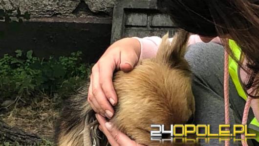 Opolski TOZ interweniował w Ozimku i gminie Niemodlin. Odebrano skrajnie zaniedbane psy