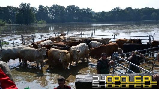 Nieoczekiwany zwrot akcji w sprawie 170 dzikich krów z Ciecierzyc. Znów mogą trafić na rzeź!