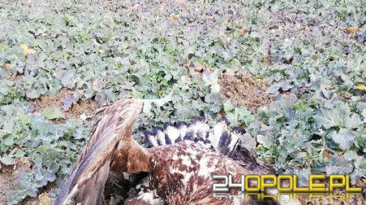 Ktoś truje dzikie zwierzęta na polach pod Głubczycami? Sprawę bada policja