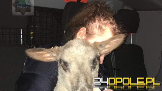 Zabłąkana owieczka biegała po ulicach Opola