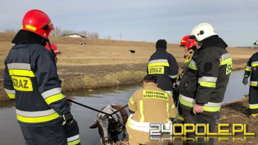 Strażacy z Otmuchowa wyciągnęli krowę z Kanału Ulgi