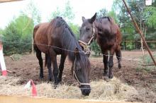 Wygłodzone konie w Szczedrzyku. Czy można było tego uniknąć?