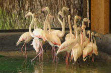 Flamingi po 30 latach wróciły do opolskiego ZOO