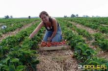 """Pomagasz w zbiorze plonów? Poproś o umowę jako """"pomocnik rolnika"""""""