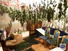 W Byczynie policja zlikwidowała imponującą plantację konopi