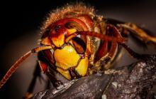 Jak się zachować, gdy dojdzie do użądlenia przez pszczołę, osę lub szerszenia?
