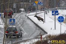 Uważajmy na zwierzęta przy drodze