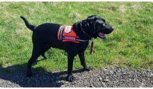 Pies ratownik czeka na operację