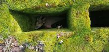 Kozioł sarny wpadł do obozowej latryny. Interwencja w Łambinowicach